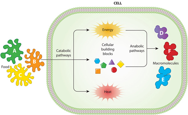 Catabolic and anabolic pathways in cell metabolism