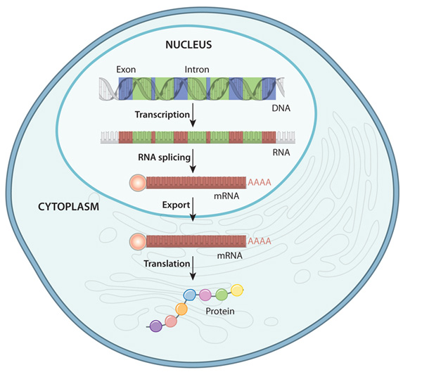 Gene Expression | Learn Science at Scitable