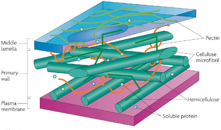 Plant Cells Chloroplasts Cell Walls Learn Science At Scitable
