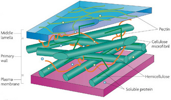 Plant cells chloroplasts cell walls learn science at scitable a schematic illustration shows a three dimensional representation of a plant cells plasma membrane and ccuart Choice Image