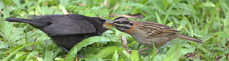The Ecology Of Avian Brood Parasitism Learn Science At Scitable