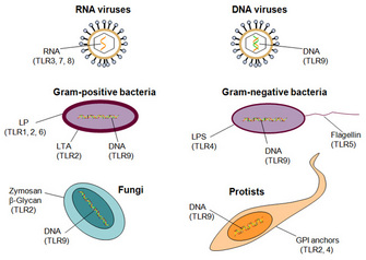 Toll-like Receptors, Infection | Learn Science at Scitable