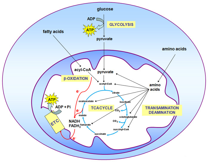 A Schematic Diagram Shows That Oxidative Metabolism Has Several