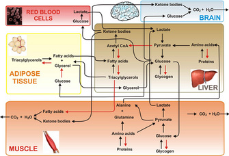 A complex series of biochemical pathways shows how five different types of cells use fatty acids, amino acids, and glucose. The five cell types represented are red blood cells, adipose tissue, muscle cells, brain cells, and liver cells. Each cell type is shown in a colored rectangle beside an illustration of the corresponding tissue; red blood cells are shown in a photomicrograph.