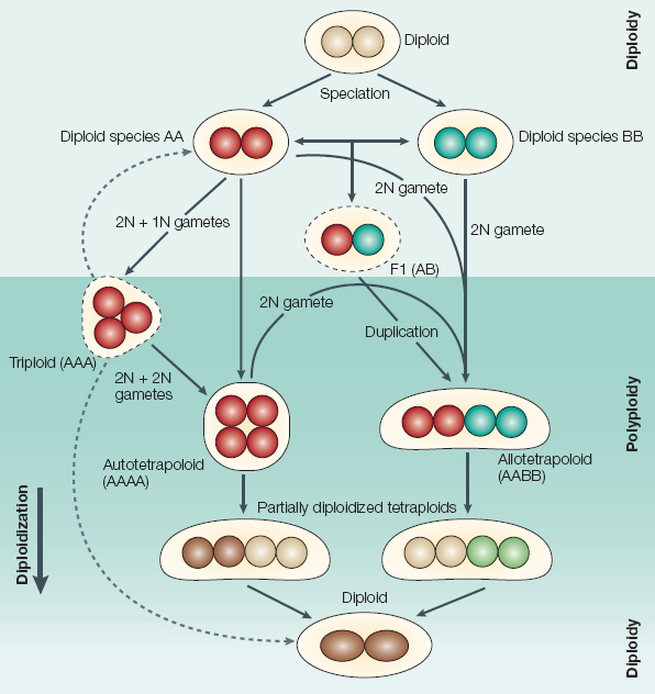 meiosis vs mitosis. meiosis vs mitosis. in meiosis or mitosis. in meiosis or mitosis.