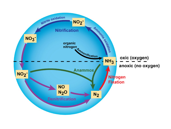 Microorganisms contributing to the Nitrogen Cycle F1_bernhard