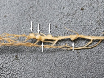 Nitrogen-fixing nodules on a clover plant root