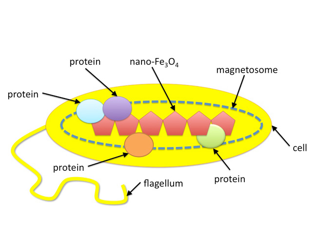 Bacteria That Synthesize Nano Sized Compasses To Navigate Using