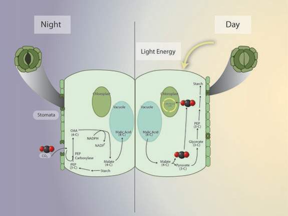 The ecology of photosynthetic pathways learn science at scitable biochemical steps in the cam photosynthetic pathway ccuart Image collections