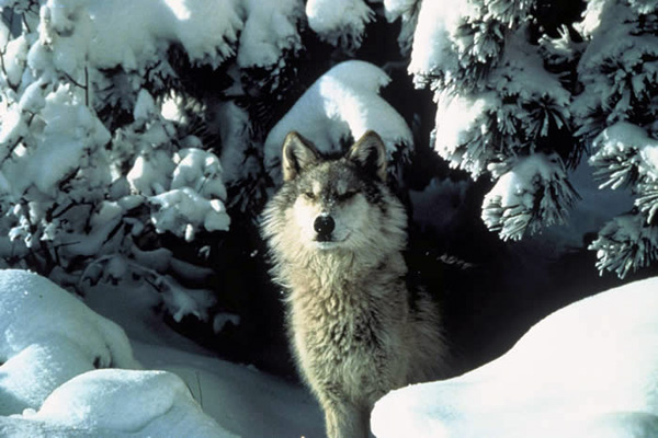 The gray wolf (<i>Canis lupus</i>), a keystone species in Yellowstone National Park
