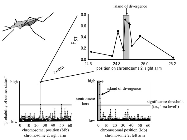 An empirical example of genomic islands of divergence involving incipient species of <i>Anopheles gambiae</i>