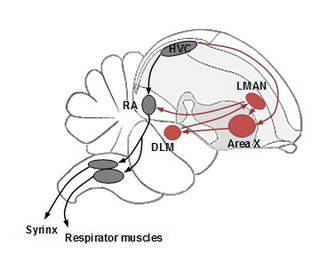A sagittal view of a schematic bird brain depicting the neural circuit controlling song learning and production