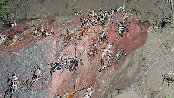 Mass migration of Mormon crickets (<i>Anabrus simplex</i>) in the American west