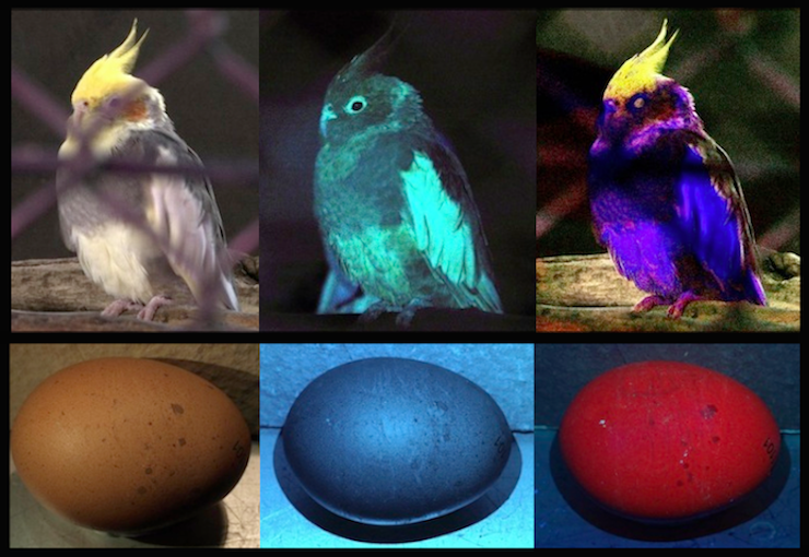 bird top and egg bottom r l through human vision rgb only uv vision bright uv simulated bird vision tetrachromatcic uvrgb the egg on - Simulation Coloration