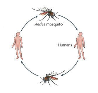 Dengue Transmission Learn Science At Scitable