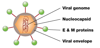 Dengue virus structure | Learn Science at Scitable