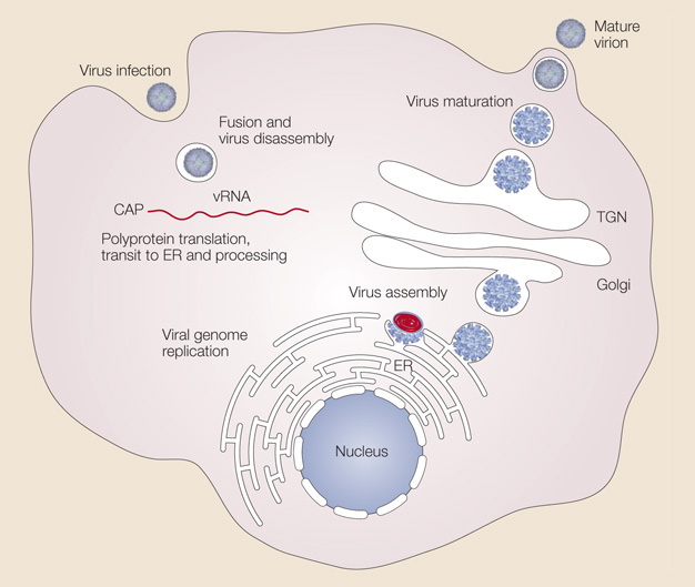 Viruses penetrate host cell via vector