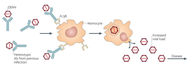 A diagram shows dengue virus particles binding to five pre-existing antibodies. The virus-antibody complex then binds to external receptors on monocytes. The virus particles gain access to the inside of the monocytes after binding these receptors and are then able to replicate and increase the viral load inside the infected body.
