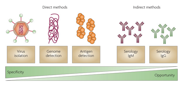 A diagram shows three direct and two indirect methods for diagnosing dengue virus infection. Each method is represented by a labeled text box and an illustration. The direct methods include virus isolation, genome detection, and antigen detection. Virus isolation is illustrated by a virus particle with the RNA genome encapsulated in an orange hexagon, which is surrounded by a brown circle. Surface viral proteins are shown as green circles attached to the virus by a red line. Genome detection is illustrated as a dark pink squiggly line that represents the RNA genome. Antigen detection is illustrated as four sets of 6 round orange circles clustered together. Indirect methods of detection include serology IgM and serology IgG. Serology IgM is illustrated by 5 dark pink Y-shaped antibodies, and serology IgG is illustrated by 5 light green Y-shaped antibodies. The text boxes and illustrations are arranged along a specificity and opportunity gradient. Specificity is highest for direct methods of detection, and opportunity is highest for indirect methods of detection. As specificity decreases, opportunity increases.