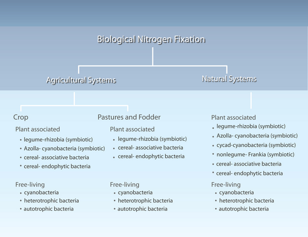 What Are Nitrogen Fixing Bacteria >> Biological Nitrogen Fixation Learn Science At Scitable