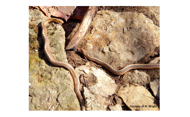 Garter snakes (<i>Thamnophis sirtalis</i>) emerging from a subterranean hibernaculum in late February.