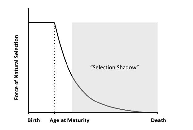 The force of selection as a function of age.