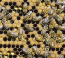 Sex Determination in Honeybees | Learn Science at Scitable