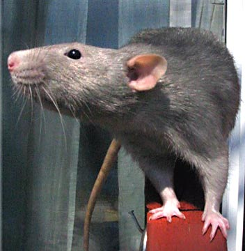rats a year with new yorks most unwanted inhabitants