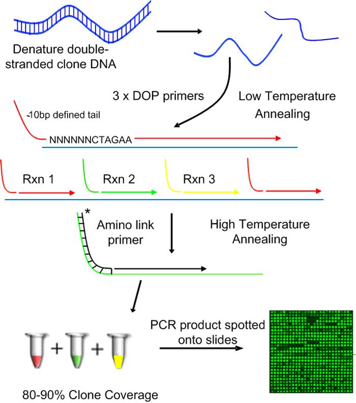 Degenerate oligonucleotide-primed polymerase chain reaction