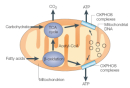 This schematic diagram depicts a mitochondrion and some of the biological pathways that take place in this organelle. The outer mitochondrial membrane is an oval, and the inner mitochondrial membrane has many folds called cristae.