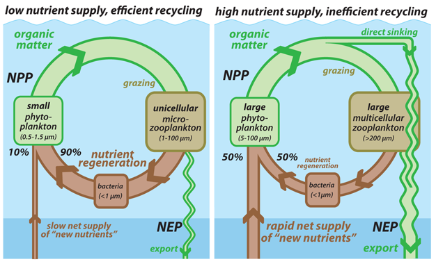 The most broadly accepted paradigm for the controls on surface nutrient recycling efficiency.