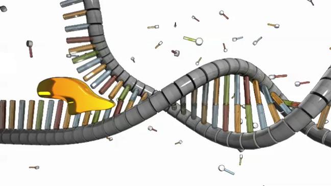 dna helicase unzip genes