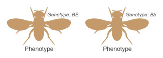 A schematic shows the dorsal side of two fruit flies in silhouette, side-by-side, with their wings outstretched. The fly at left has the homozygous dominant genotype uppercase B uppercase B, while the fly at right has the heterozygous genotype uppercase B lowercase b. Both of these genotypes result in a phenotype of brown body color.