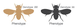A schematic shows the dorsal side of two fruit flies in silhouette, side-by-side, with their wings outstretched. The body color, or phenotype, of the fly at left is brown. The body color of the fly at right is black. The brown-bodied fly has the homozgygous dominant genotype uppercase B uppercase B, while the black-bodied fly has the homozygous recessive genotype lowercase b lowercase b.