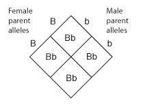 A Punnett square diagram shows the crossing of a female parent with the genotype uppercase B uppercase B with a male parent with the genotype lowercase b lowercase b. The resulting offspring have a genotype of uppercase B lowercase b.