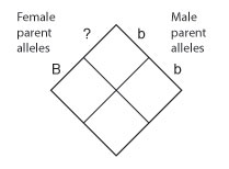 An empty Punnett diagram is represented by a diamond that has been divided into four equal square cells. On the upper left, the second allele of the female parent genotype is unknown, so the genotype is labeled as uppercase B, question mark. The question mark is labeled to the left of the top quadrant, while the uppercase B is labeled outside the left quadrant. On the upper right, the male parent genotype is lowercase b, lowercase b. The first lowercase b is labeled to the right of the top quadrant, while the second lowercase b is labeled outside the right quadrant. The bottom quadrant does not have any labels.