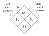 A Punnett square diagram shows the crossing of a female parent and a male parent with the genotype uppercase B lowercase b. One-fourth of the resulting offspring have a genotype of lowercase b lowercase b; one-fourth have a genotype of uppercase B uppercase B; and one half have a genotype of uppercase B lowercase b.