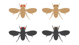 A schematic shows the dorsal side of four fruit flies in silhouette with their wings outstretched. The fly at top left has a brown body color and red eyes. The fly at top right has a brown body color and brown eyes. The fly at bottom left has a black body color and red eyes. The fly at bottom right has a black body color and brown eyes.