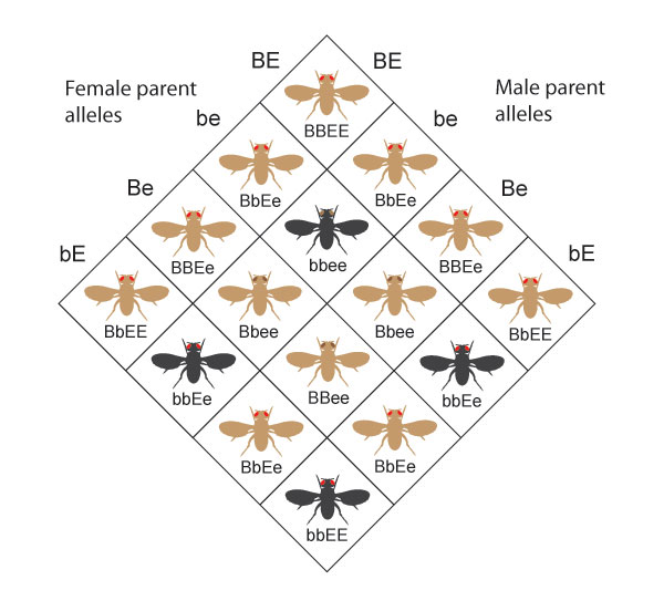 A Punnett square diagram shows the resulting phenotypes and genotypes from crossing a female parent and a male parent, both with the genotype uppercase B lowercase b, uppercase E lowercase e. The genotypes of the resulting offspring produce one of four phenotypes in the following ratio: 9 flies with brown bodies and red eyes, 3 flies with brown bodies and brown eyes, 3 flies with black bodies and red eyes, and 1 fly with a black body and brown eyes.