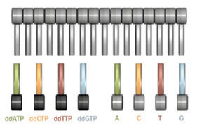 The Order of Nucleotides in a Gene Is Revealed by DNA Sequencing | Learn Science at Scitable