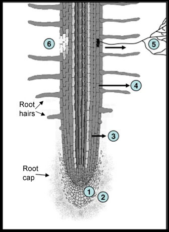 Schematic of a root showing 6 major regions of rhizodeposits.