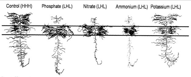 Changes in roots system architecture