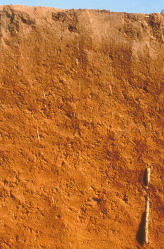 A highly weathered soil that is red due to the high content of iron oxide minerals.