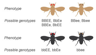 A schematic shows the phenotype and possible genotypes of combinations of two genes each with two alleles. Four potential phenotypes are shown as illustrations of the dorsal side of four fruit flies in silhouette with their wings outstretched. The top left fly has a brown body color and red eyes. Potential genotypes include uppercase B uppercase B, uppercase E uppercase E; uppercase B lowercase b, uppercase E lowercase e; uppercase B uppercase B, uppercase E lowercase e; or uppercase B lowercase b, uppercase E uppercase E. The top right fly has a brown body color and brown eyes. Potential genotypes include uppercase B uppercase B, lowercase e lowercase e or uppercase B lowercase b, lowercase e lowercase e. The bottom left fly has a black body color and red eyes. Potential genotypes include lowercase b lowercase b, uppercase E uppercase E or lowercase b lowercase b, uppercase E lowercase e. The bottom right fly has a black body color and brown eyes. The only possible genotype is lowercase b lowercase b, lowercase e lowercase e.