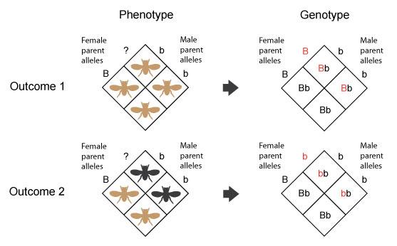 phenotype and genotype