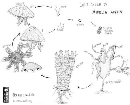 Jellyfish reproducing asexually