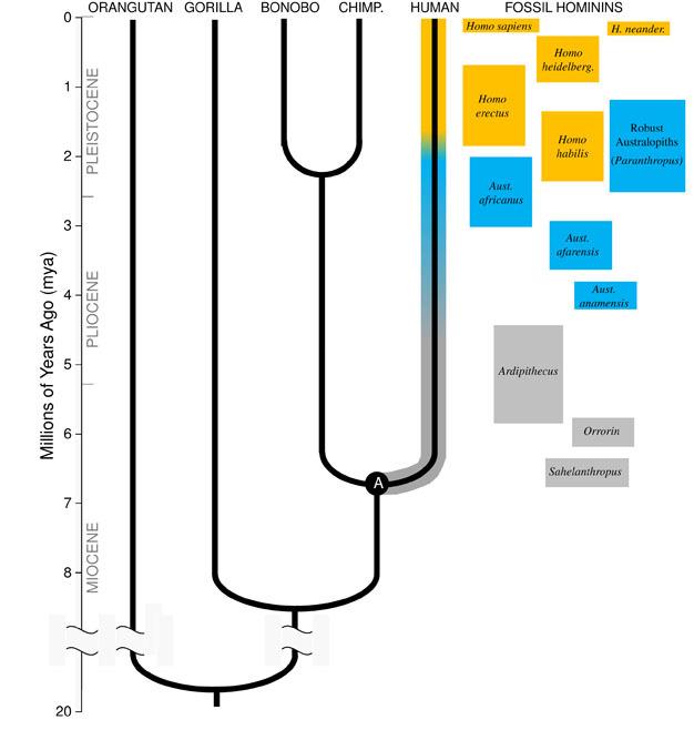The human evolutionary family tree.