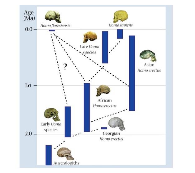 Árbol filogenético demuestra posibles relaciones evolutivas entre <i> Homo </ i> taxones, que ilustra algunos de los posibles antecesores de Homo floresiensis <i> </ i>: Asian <i> Homo erectus </ i> o anterior Homo <i> </ i> a las poblaciones del África.