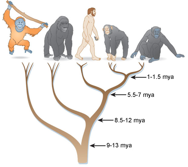 evolutionary relationships of hominidae learn science at scitable