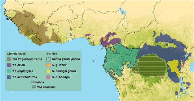 Distribución de chimpancé y el gorila subespecies.